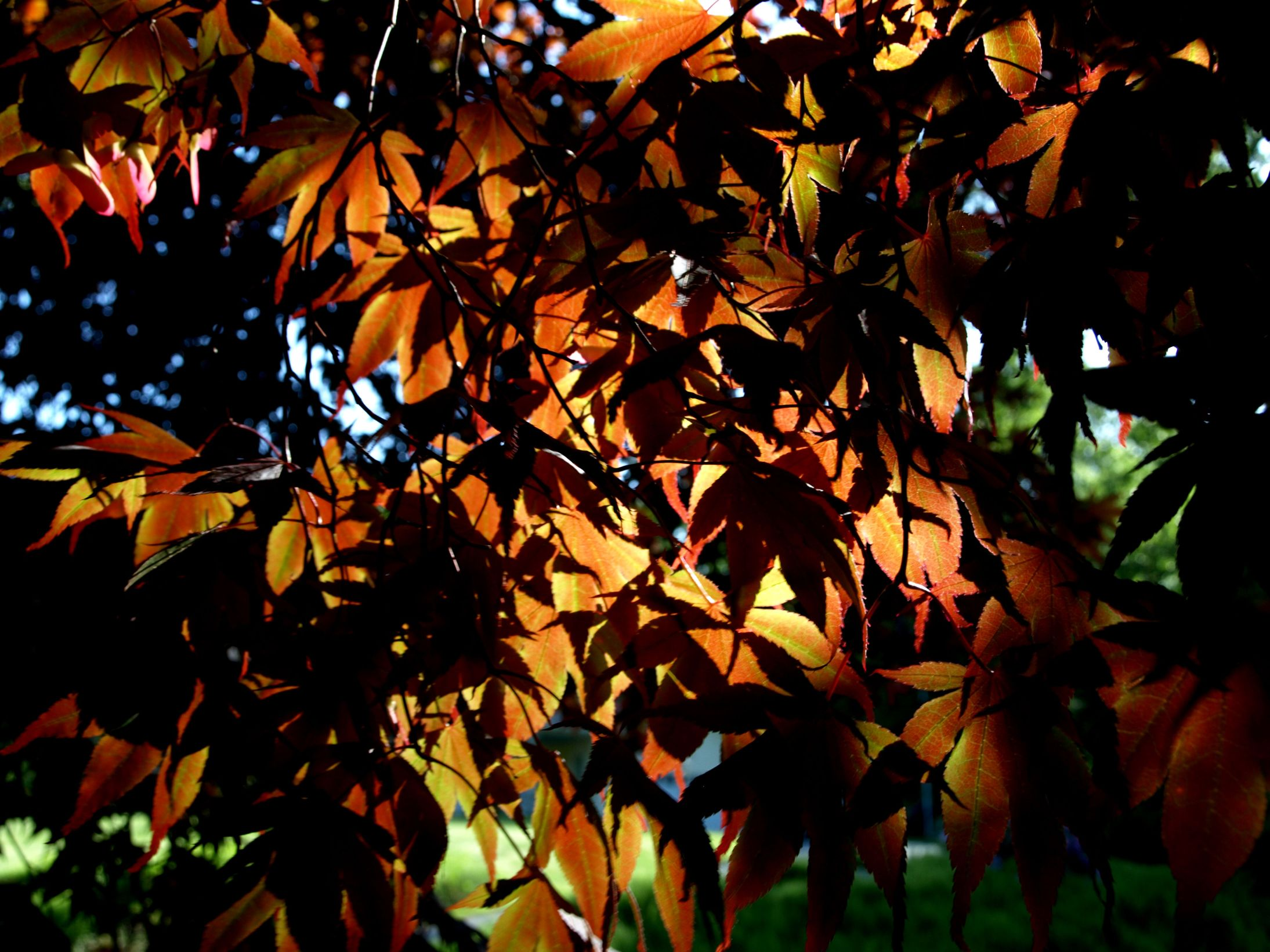 Sun Coming Through Japanese Maple Leaves